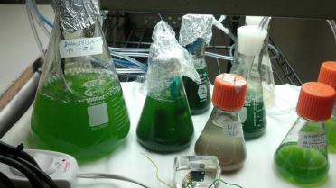 algae(3)